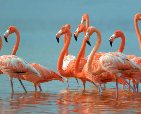Flamingos nest in the Ria Lagartos Biosphere Reserve in the state of Yucatán