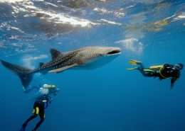Swim with whale sharks in Holbox, Contoy and Isla Mujeres