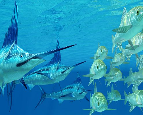 Swim and snorkel with sailfish in the Mexican Caribbean