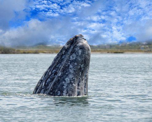 Whale watching in Baja California Sur