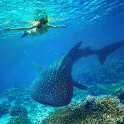 whale shark season